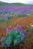 Lupines, Palouse Falls State Park, WA