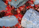 Big Tooth Maple Leaves and Ponderosa Pine Cones with Limestone, Zion National Park, UT,