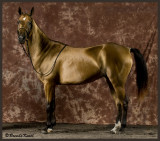 Built  for endurance and speed- The Akhal Teke