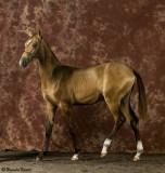 Golden Buckskin colt    Artist