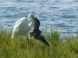 We were shooting at Fort DeSoto in Florida and had our backs to the shore. Our two Audubon friends started yelling about the bird way behind us.  They said they had never seen an Egret do this before. Whipped around and caught it on the third shot.