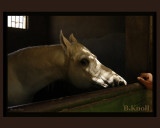 Timid Egyptian-Horse 4874