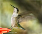 Immature male:  Ruby-throated Hummingbird