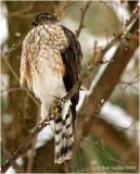 Sharp-shinned Hawk in my backyard!