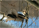 Red-bellied Woodpecker has European Starling on the run!!!