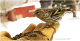 Hungry Pine Siskins will feed from your hand.
