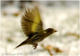 Pine Siskins show bright yellow under the wings in flight.