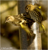Pine Siskins at the nyjer feeder: this year I've observed up to 200 birds at my backyard feeders at one time!