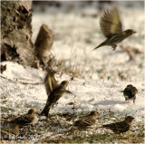 Pine Siskins are full of energy and move about constantly while feeding.
