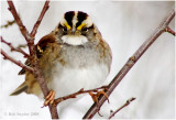 White-throated Sparrow is a winter visitor related to Harris's Sparrow.
