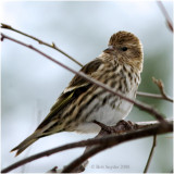 Pine Siskins breed in Canada and will winter in US.