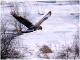 Rough-legged Hawk at I-80 and Rt 26/I99: 1.31.09