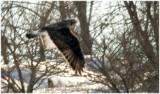 Rough-legged Hawks have small beaks, and long, narrow wings.