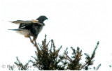 Rough-legged Hawk perched: note feathered legs, down to toes.