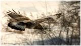 Rough-legged Hawk close up.