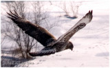 Field marks: a) dark wide tail band; b) dark, barred belly band; c) dark carpal patches on underside of wings.