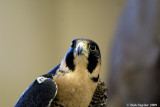 Isis is a Peregrine Falcon