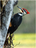 Male Pileated Woodpecker working a dying gray birch tree for black ants.
