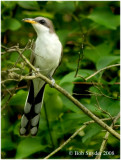 Yellow-billed Cuckoo Photo Essay.   Posted on May 28, 2008.  Revised on June 8 and July 5, 2008.