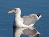 Olympic Gull (Glaucous-winged x Western Gull)