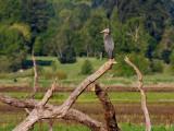 Great Blue Heron at Tualatin River NWR