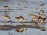Ruff and Long-billed Dowitchers