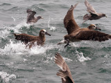 Black-footed Albatross and Northern Fulmar