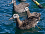 Black-footed Albatross A386