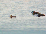 Long-tailed Duck and Surf Scoter