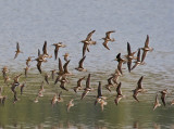 Long-billed Dowitcher and Western Sandpiper