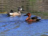 Blue-winged Teal (left), Cinnamon Teal (right)