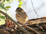 Sparrow and Finch-like Songbirds