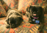 our_pugs