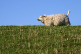Texel schaap