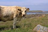 Batz cow
