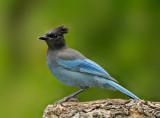 Jays, Crows, Ravens, Magpies (Corvids)