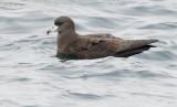 Birds -- Monterey Bay pelagic, September 2008