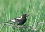 Blackbirds, Meadowlarks, etc.