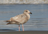 Glaucous-winged  x Western Gull(?), first winter