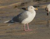 Glaucous-winged x Herring Gull(?), adult