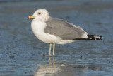 California Gull, adult winter