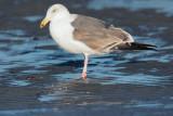 Western Gull, third winter