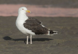 Great Black-backed Gull, breeding plumage