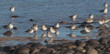 Western Sandpipers, juveniles