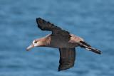 Birds -- Monterey Bay pelagic, September 26, 2010