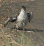 Red-throated Loon, beached