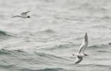 Sabine's Gulls, adult and juvenile