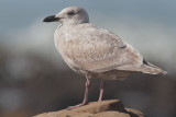 Glaucous-winged Gull, first winter
