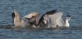Gulls and Cormorant, feeding frenzy.