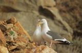 Western Gulls, pair